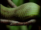 BCU Scales of Green lance-head snake moving through tree, South America