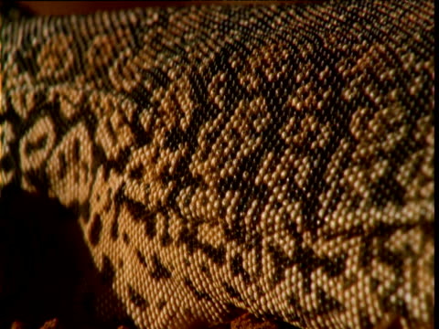 Scaly flank of sand goanna expands and contracts as it breathes, Australia