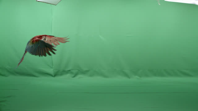 Scarlet macaw parrot flying horizontally across screen