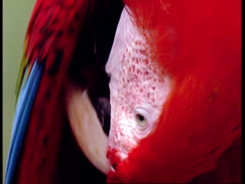 BCU Scarlet macaw preening wing feathers, South America