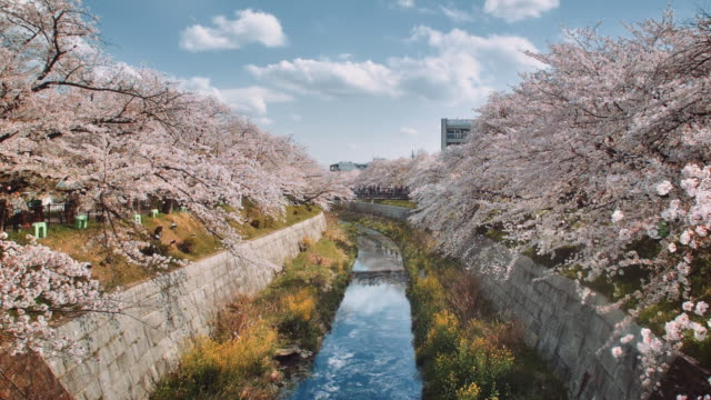 WS, Scenery of the Yamazaki river, Nagoya, surrounded by cherry blossoms