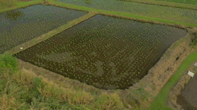 Scenic Taro Fields in Hawaii