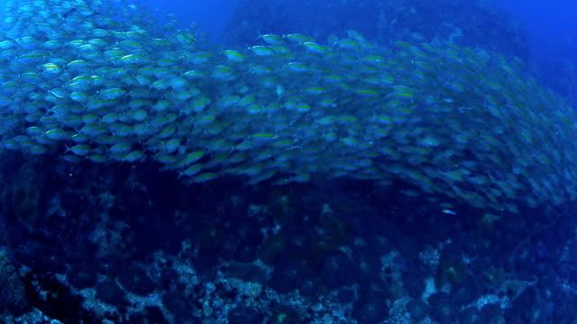 School mackerel fish underwater in Chumporn natioal park, Thailand