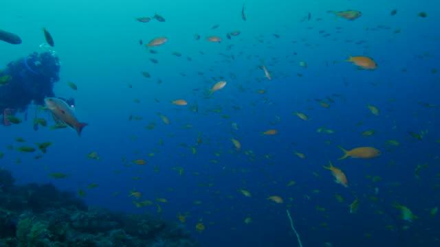 School of anthias fish in coral reef
