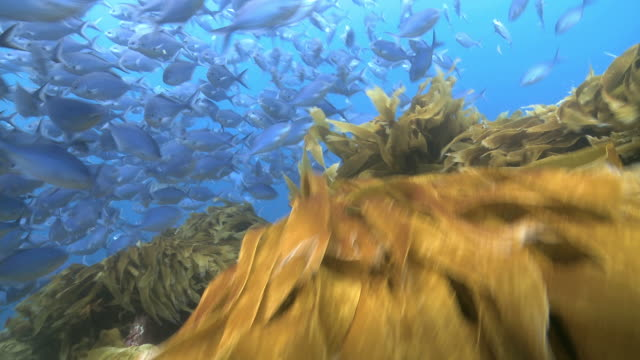 DS A school of Blue Mau Mau fish swimming over kelp bed / Poor Knights, New Zealand