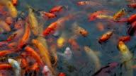 School of Carp Fish at Water Surface
