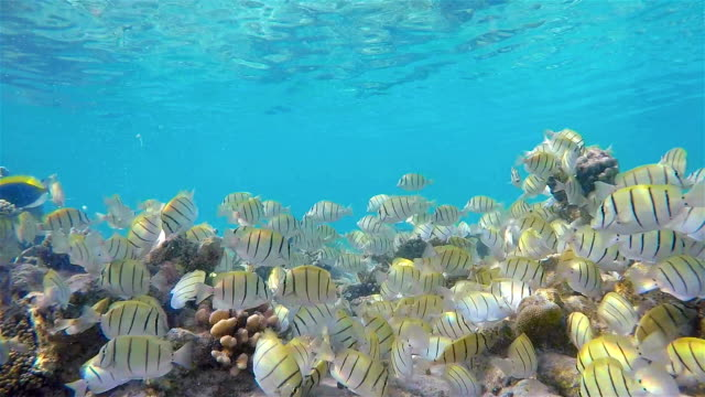 School of Convict Surgeonfish on coral reef - Maldives