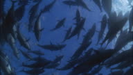 SLO MO WS School of fish swimming in circle underwater / Moorea, Tahiti, French Polynesia