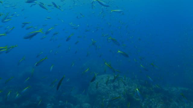 School of Fusilier fish covered undersea reef
