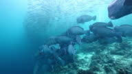 MS TS School of jacks fish swimming in front of bumphead parrotfish / Sipadan, Semporna, Tawau, Malaysia