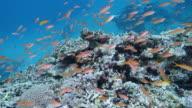 School of Madder Seaperch swimming in Ishigaki Island, Okinawa, Japan
