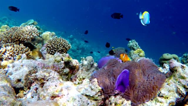 School of Maldives Anemonefish - Maldives