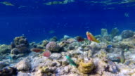 School of parrotfishes on coral reef on Maldives