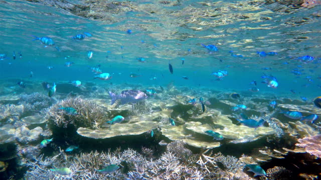 School of Pomacentridae on coral reef - Maldives