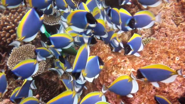 School of Powder Blue Surgeonfish