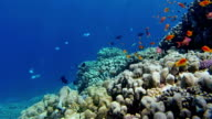School of Sea goldie fishes on coral reef - Red Sea