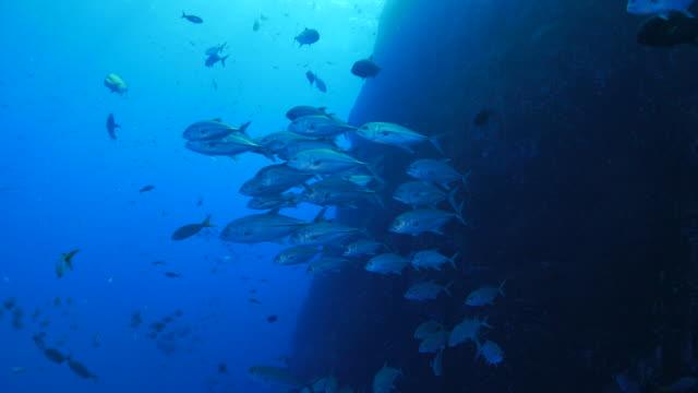 School of trevally jack fish undersea