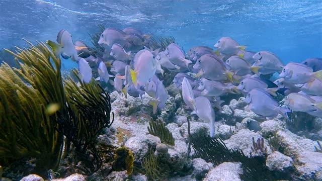 School van yellowfin Doktersvissen of Cuviers surgeonfish (Acanthurus xanthopterus) in Caribische zee - Akumal Bay - Riviera Maya / Cozumel, Quintana Roo, Mexico