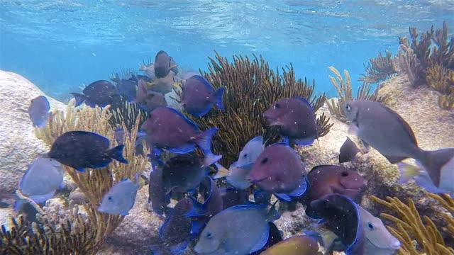 School of yellowfin surgeonfish or Cuvier's surgeonfish ( Acanthurus xanthopterus ) in Caribbean Sea - Akumal Bay - Riviera Maya / Cozumel , Quintana Roo , Mexico