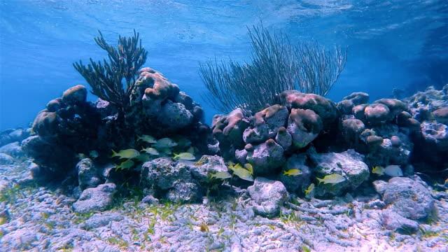School of young snapper in Caribbean Sea - Akumal Bay - Riviera Maya / Cozumel , Quintana Roo , Mexico