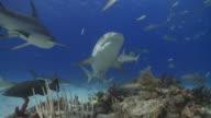 Schooling sharks, caribbean reef, tiger and lemon sharks