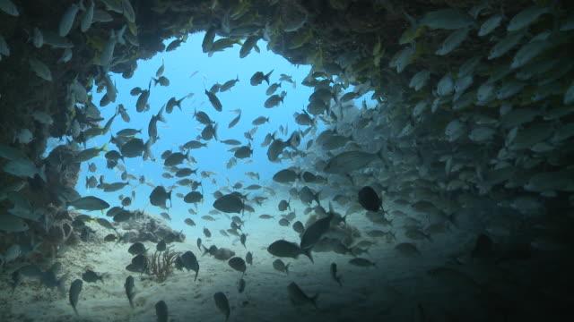 MS POV Schooling snapper under overhang / Playa del Carmen, Isla Mujeres, Mexico