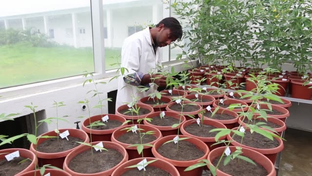 A scientist examines transgenic pigeon pea plants growing inside a biosafety glasshouse in the Platform for Translational Research on Transgenic...