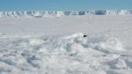 Scientist watches Adélie penguin slide across ice, Antarctica