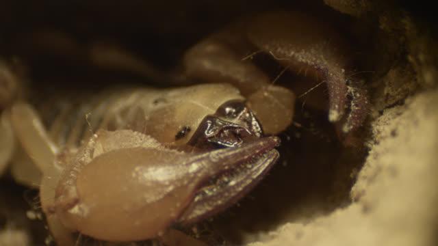 Scorpion inside desert burrow, South Africa