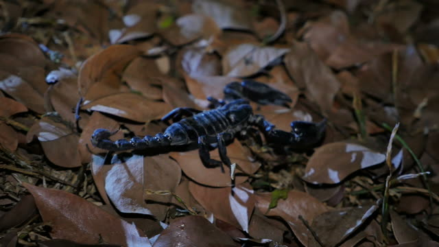 Scorpion moving in the forest.
