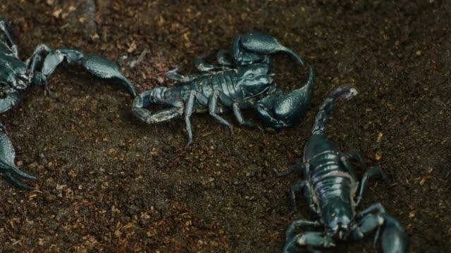 Scorpion walks on ground.