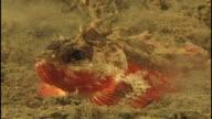 Scorpionfish (unknown species). Papua New Guinea