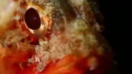 Scorpionfish venomous marine fish