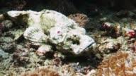 Scorpionfish Walks Along the Bottom of the Sea