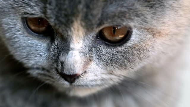 HD: Scottish Fold Kätzchen suchen
