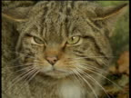 Scottish wildcat angrily hisses at camera.