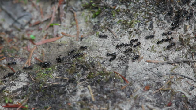 Scrambling Ants in Forest