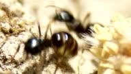 Scrambling Ants Macro Shot