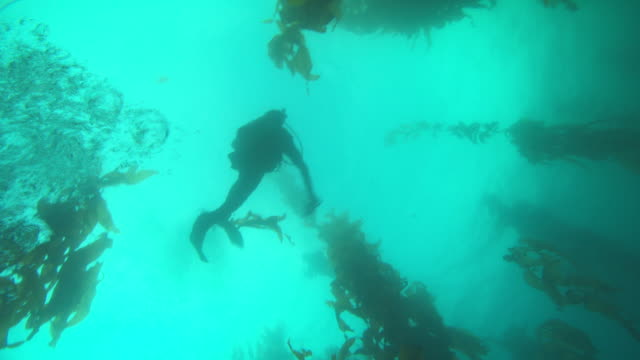 A scuba diver swims through a kelp forest. Available in HD.