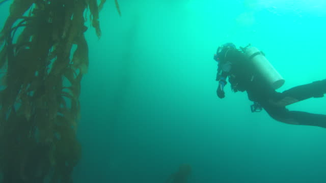 A scuba diver swims through a kelp forest then heads toward the ocean's surface. Available in HD.