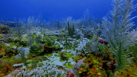Scuba Diving on beautiful coral reef in Caribbean Sea - Belize Barrier Reef / Ambergris Caye