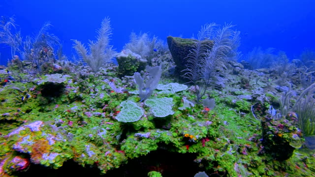 Scuba Diving on beautiful coral reef on Caribbean Sea - Belize Barrier Reef / Ambergris Caye