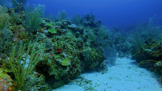 Scuba Diving on coral reef in Caribbean Sea - Belize Barrier Reef / Ambergris Caye