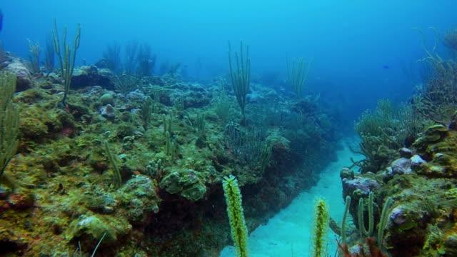 Dykning på korallrev på Karibiska havet / Belize