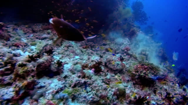 Scuba diving on coral reef on the Maldives