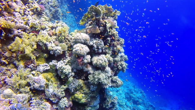 Scuba diving on coral reef / Red Sea