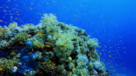 Scuba diving on coral reef with lot of sea goldie fish in Red Sea / Marsa Alam - Egypt