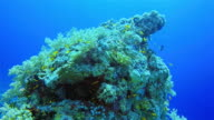 Scuba diving on coral reef with lot of sea goldie fish nearby Marsa Alam / Red Sea - Egypt