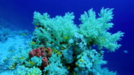 Scuba diving on Marsa Alam with soft coral / Red Sea - Egypt