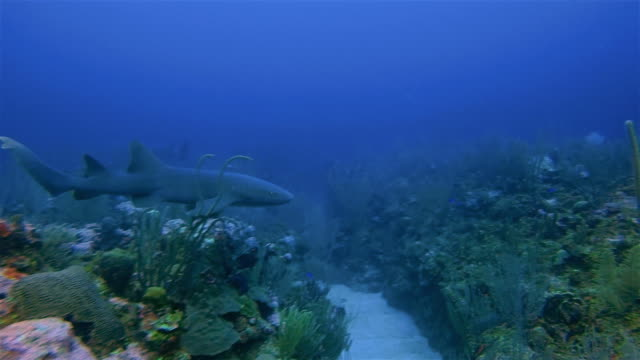 Scuba Diving with nurse sharks in Caribbean Sea - Belize Barrier Reef / Ambergris Caye
